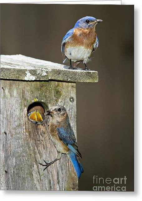 Eastern Bluebird Family Greeting Card by Anthony Mercieca