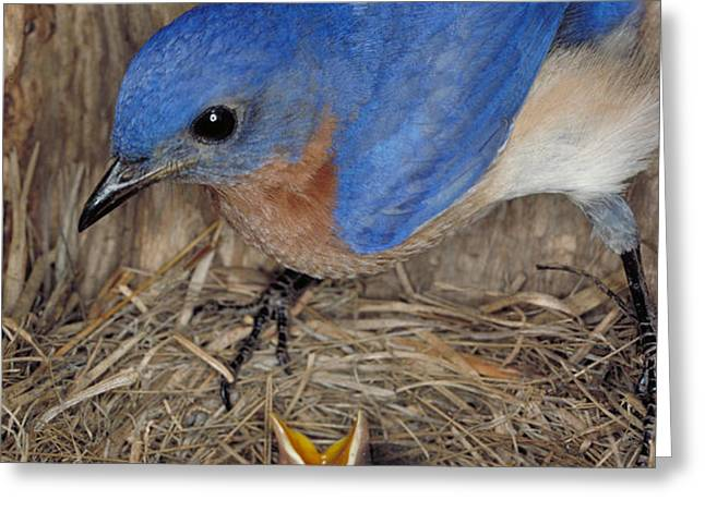 Eastern Bluebird Feeding Its Young Greeting Card by Millard H. Sharp
