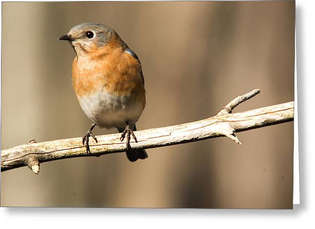 Biology Greeting Cards - Eastern Bluebird Female 6 Greeting Card by Douglas Barnett