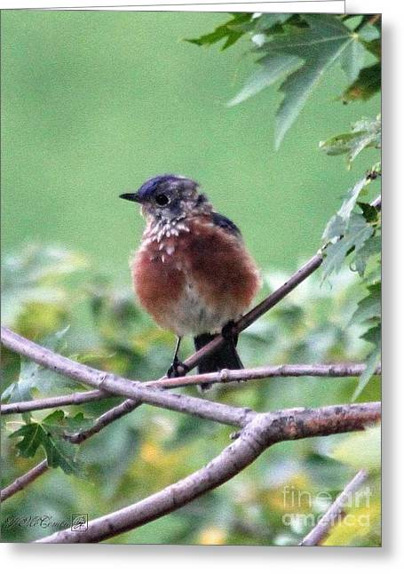 Bluebird Posters Greeting Cards - Eastern Bluebird Greeting Card by J McCombie