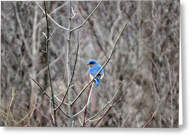 Bluebird Posters Greeting Cards - Eastern Bluebird Greeting Card by Michelle Milano