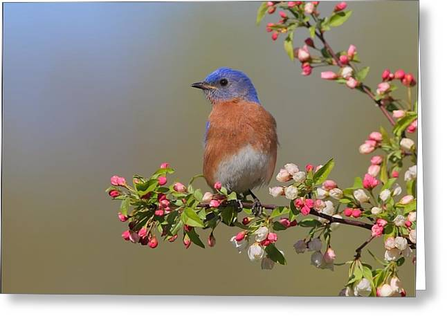 Apple Pyrography Greeting Cards - Eastern Bluebird on Apple Blossoms Greeting Card by Daniel Behm