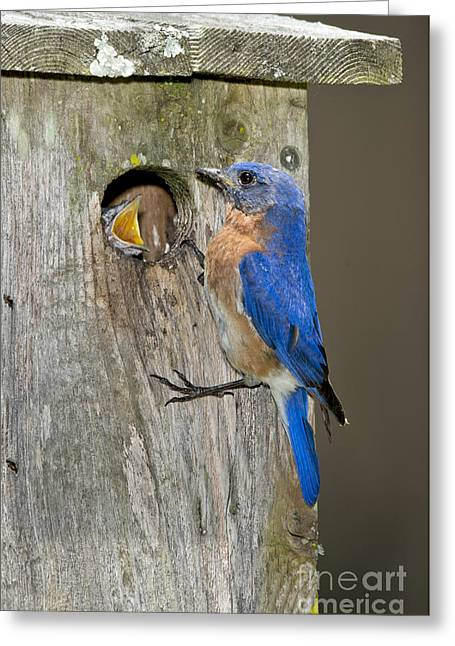 Eastern Bluebirds Greeting Card by Anthony Mercieca