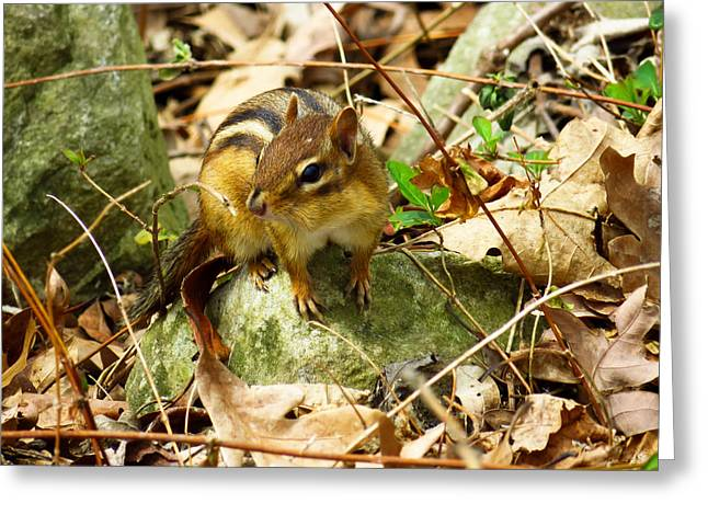 Forest Dweller Greeting Cards - Eastern Chipmunk Chilling on a Rock Greeting Card by Shawna  Rowe