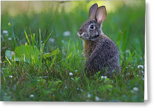 Farmland Greeting Cards - Eastern Cottontail Greeting Card by Bill  Wakeley