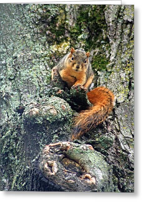 Fox Squirrel Greeting Cards - Eastern Fox Squirrel Greeting Card by Dennis Pintoski