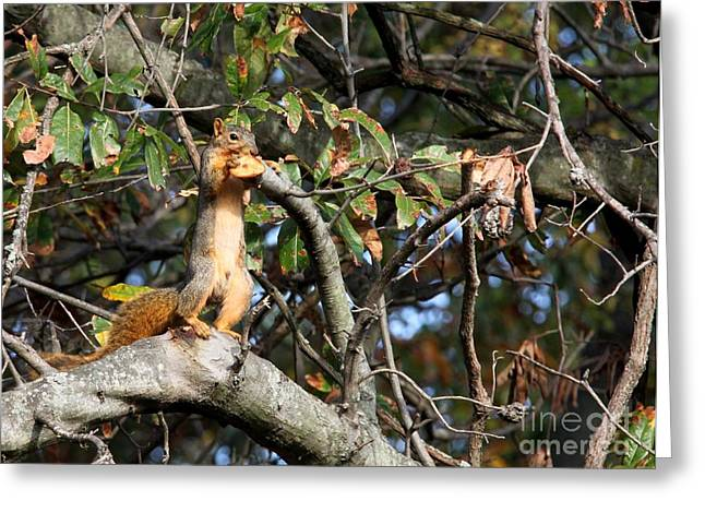 Eastern Fox Squirrel Greeting Cards - Eastern Fox Squirrel Greeting Card by Jack R Brock