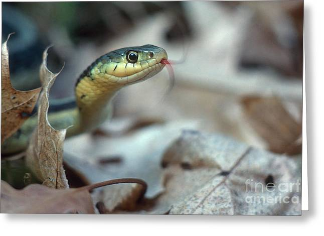 Common Sense Greeting Cards - Eastern Garter Snake Greeting Card by Larry West