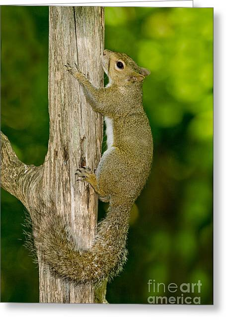 Sciurus Carolinensis Greeting Cards - Eastern Gray Squirrel Greeting Card by Anthony Mercieca