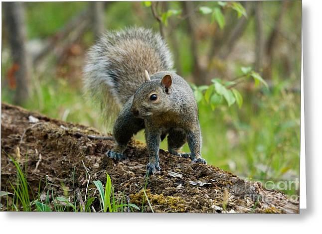 Eastern Gray Squirrels Greeting Cards - Eastern Gray Squirrel Greeting Card by Linda Freshwaters Arndt