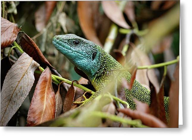 Eastern Green Lizard Greeting Card by Heath Mcdonald