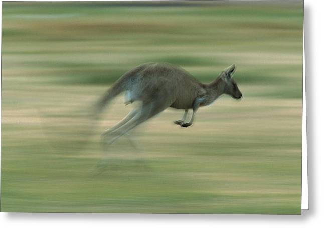 Kangaroo Greeting Cards - Eastern Grey Kangaroo Female Hopping Greeting Card by Ingo Arndt