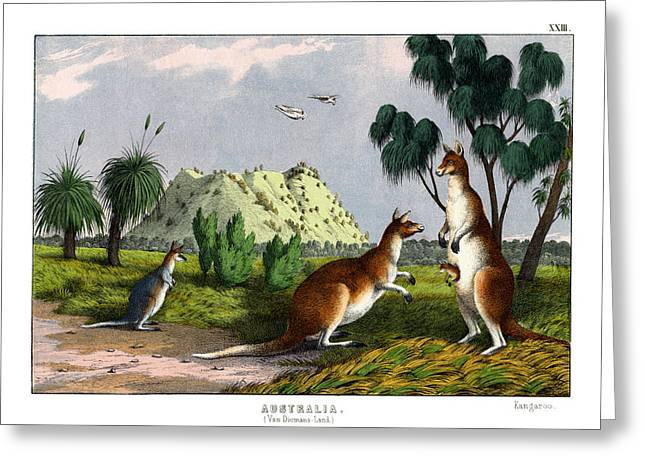 Kangaroo Drawings Greeting Cards - Eastern Grey Kangaroo Greeting Card by Splendid Art Prints