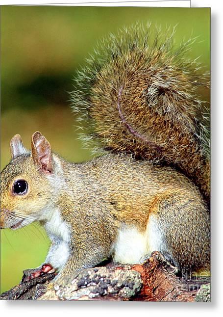 Eastern Gray Squirrels Greeting Cards - Eastern Grey Squirrel Greeting Card by Millard H. Sharp
