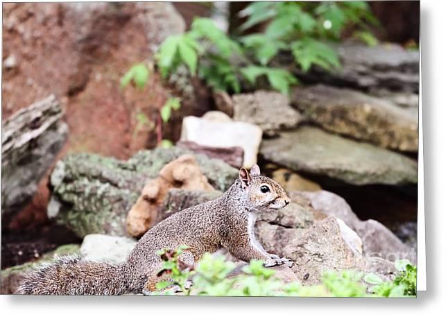 Eastern Grey Squirrel Greeting Cards - Eastern Grey Squirrel  Greeting Card by Stephanie Frey