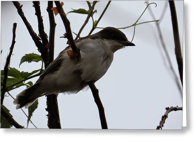 Eastern Kingbird Greeting Cards - Eastern Kingbird Greeting Card by Emily  Froese