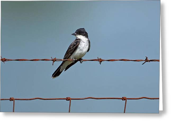 Eastern Kingbird Greeting Cards - Eastern Kingbird on Wire Greeting Card by Sandy Keeton