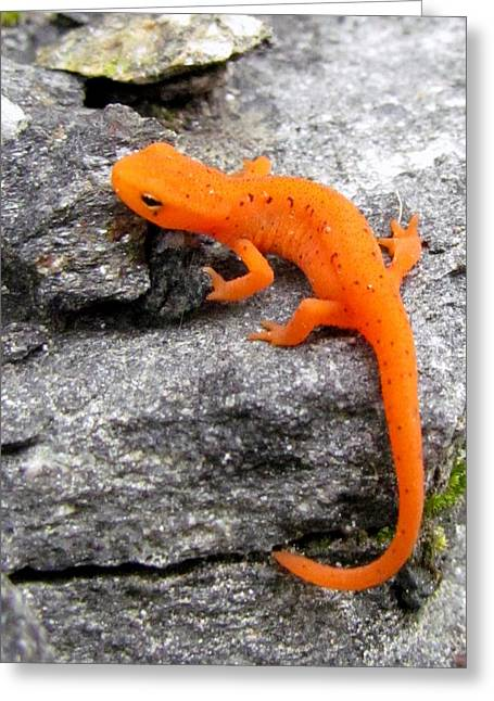 Morphing Photographs Greeting Cards - Orange Julius the Eastern Newt Greeting Card by Lori Pessin Lafargue