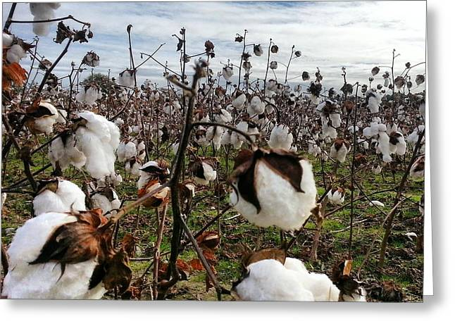 Eastern North Carolina Cotton Greeting Card by Karen Rhodes