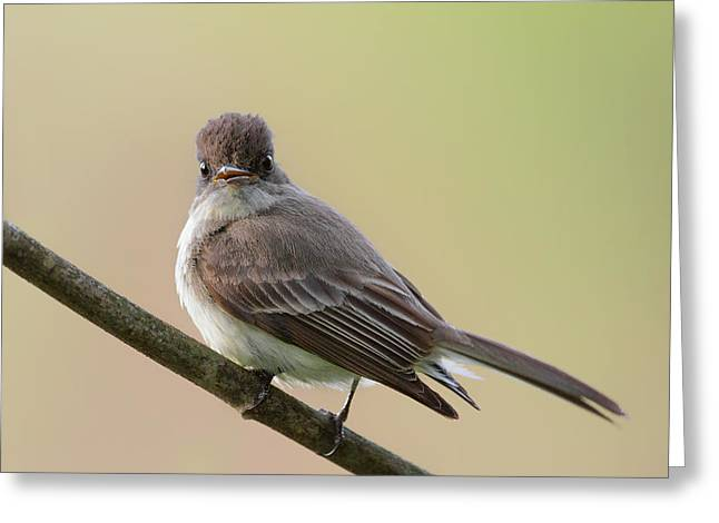 Song Bird Greeting Cards - Eastern Phoebe Greeting Card by Bill  Wakeley