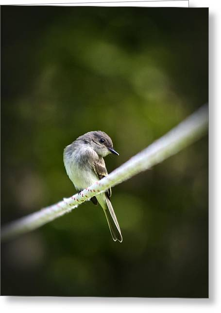 Eastern Phoebe Greeting Card by Christina Rollo