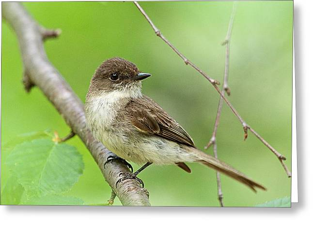 Phoebe Greeting Cards - Eastern Phoebe Farmington NH Greeting Card by Jeff Sinon