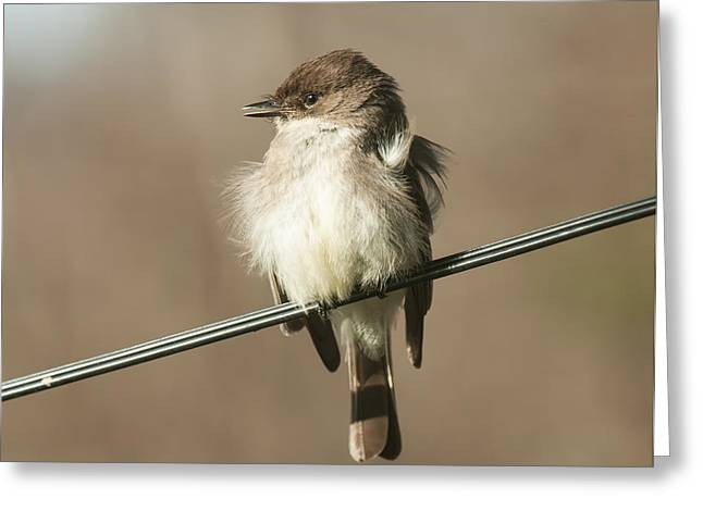 Eastern Phoebe Greeting Card by Lara Ellis