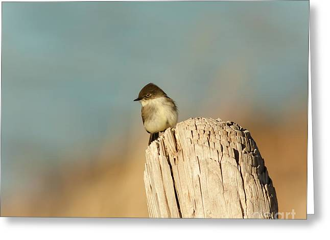 Phoebe Greeting Cards - Eastern Phoebe Greeting Card by Robert Frederick