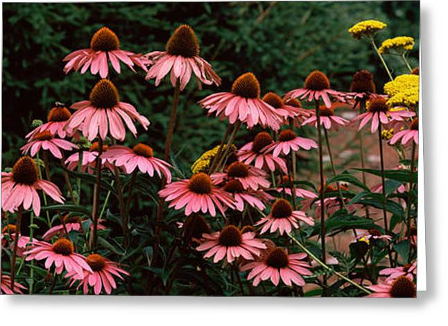 Purple Flower Flower Image Greeting Cards - Eastern Purple Coneflower Echinacea Greeting Card by Panoramic Images