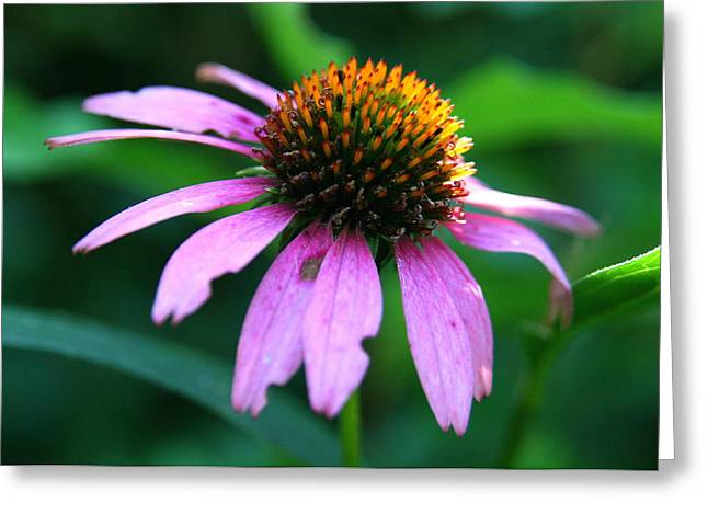 Wildflower Photograph Greeting Cards - Eastern Purple Coneflower beside the Air Line State Park Trail  Greeting Card by Neal  Eslinger