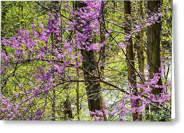Cercis Greeting Cards - Eastern Redbud along Birch River Greeting Card by Thomas R Fletcher