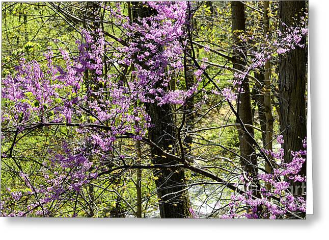 Cercis Greeting Cards - Eastern Redbud Birch River Greeting Card by Thomas R Fletcher