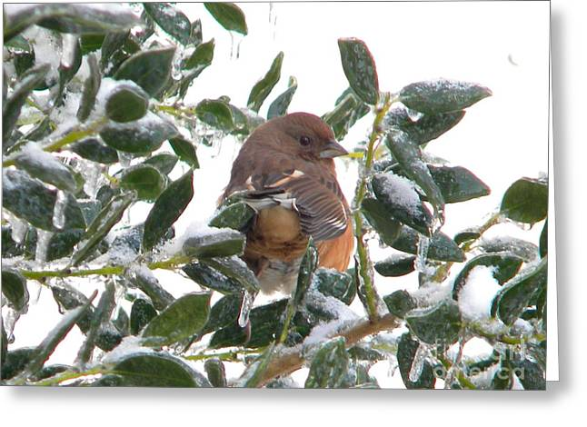 Brown Towhee Greeting Cards - Eastern Rufous-sided Towhee Greeting Card by Nathanael Smith