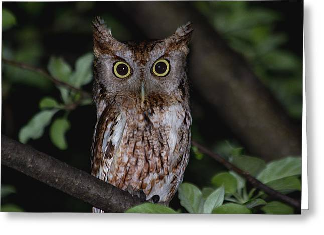 Owl Photographs Greeting Cards - Eastern Screech-Owl Greeting Card by Aaron J Groen