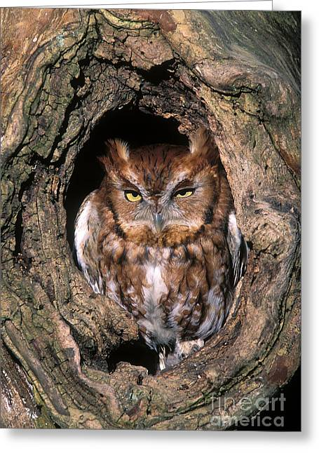 Tufted Ears Greeting Cards - Eastern Screech Owl - FS000810 Greeting Card by Daniel Dempster