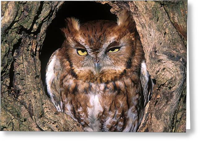 Eastern Screech Owl - FS000810 Greeting Card by Daniel Dempster