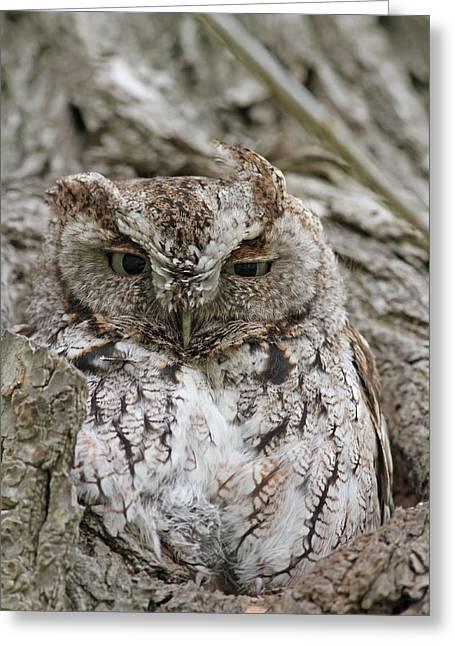 Morph Greeting Cards - Eastern Screech Owl - Gray Morph Greeting Card by Jim Nelson