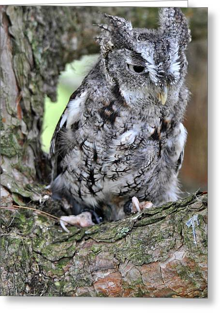 Morph Greeting Cards - Eastern Screech Owl Gray Morph-L Greeting Card by Wayne Sheeler