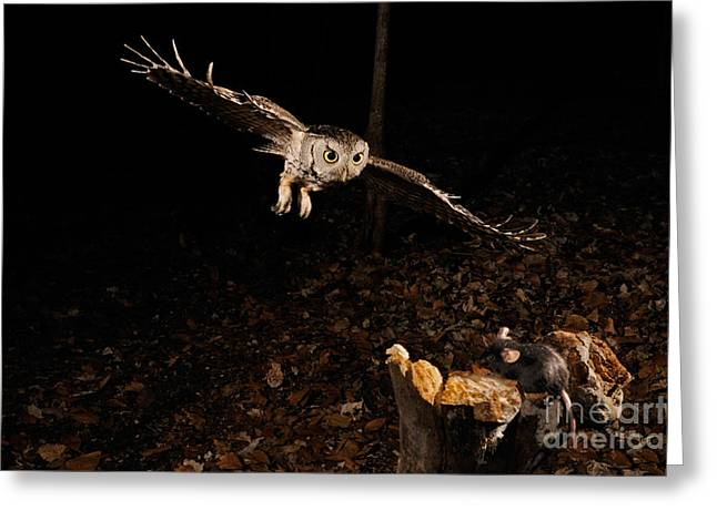 Birds In Flight At Night Greeting Cards - Eastern Screech Owl Hunting Greeting Card by Scott Linstead