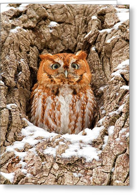 Morph Greeting Cards - Eastern Screech Owl Greeting Card by Joshua Clark