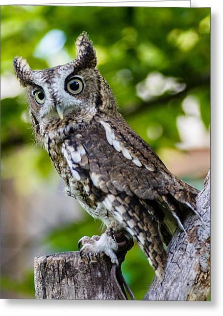 Nature Center Greeting Cards - Eastern Screech Owl Greeting Card by Randy Scherkenbach