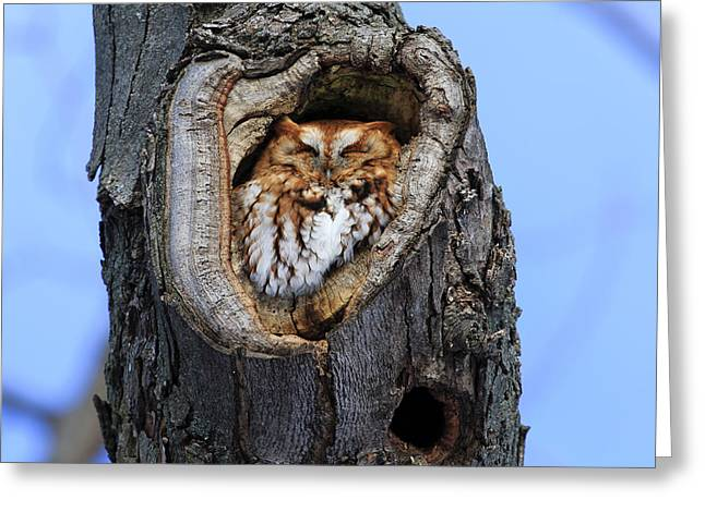 Morph Greeting Cards - Eastern Screech Owl - Red Morph Greeting Card by Gary Hall