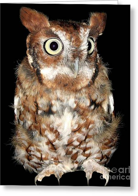 Hawk Creek Greeting Cards - Eastern Screech Owl Greeting Card by Rose Santuci-Sofranko