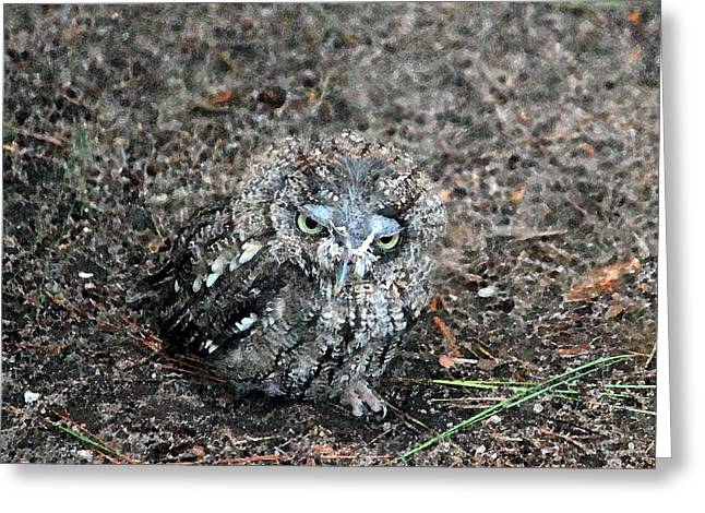 Bird Of Prey Greeting Card Greeting Cards - Eastern Screech Owl Greeting Card by Suzanne Gaff