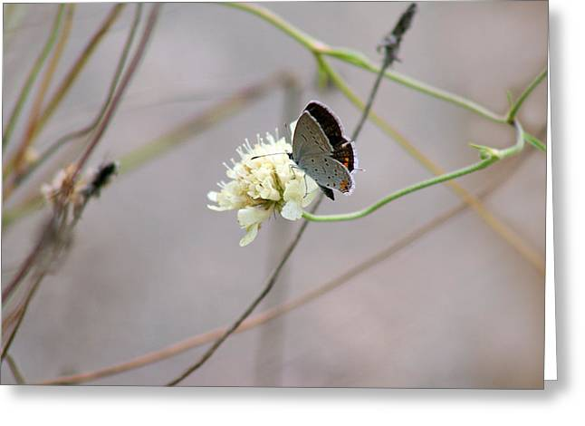 Butterfly Blue Pincushion Flower Greeting Cards - Eastern Tailed Blue Butterfly on Pincushion Flower Greeting Card by Karen Adams
