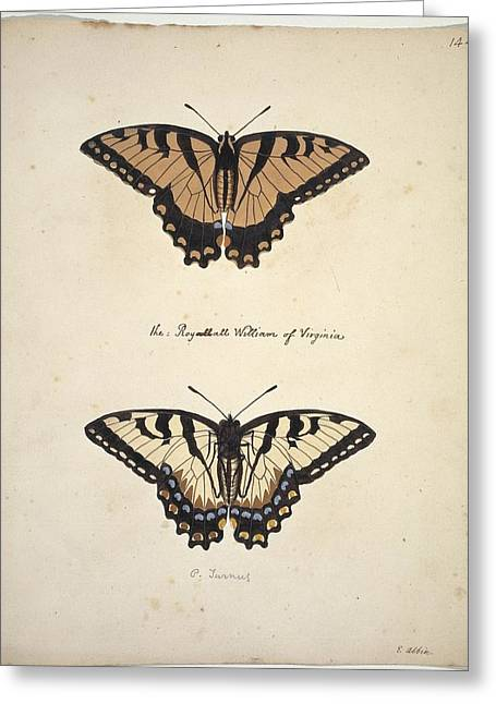 1700s Greeting Cards - Eastern tiger swallowtail, artwork Greeting Card by Science Photo Library