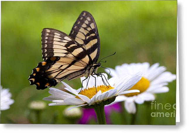 Common Tiger Butterfly Greeting Cards - Eastern Tiger Swallowtail Greeting Card by B Christopher