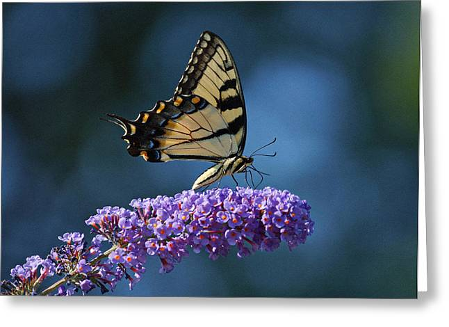 Indiana Art Greeting Cards - Eastern Tiger Swallowtail Butterfly Greeting Card by Sandy Keeton