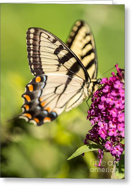 Commercial Photography Greeting Cards - Eastern Tiger Swallowtail Greeting Card by Iris Richardson