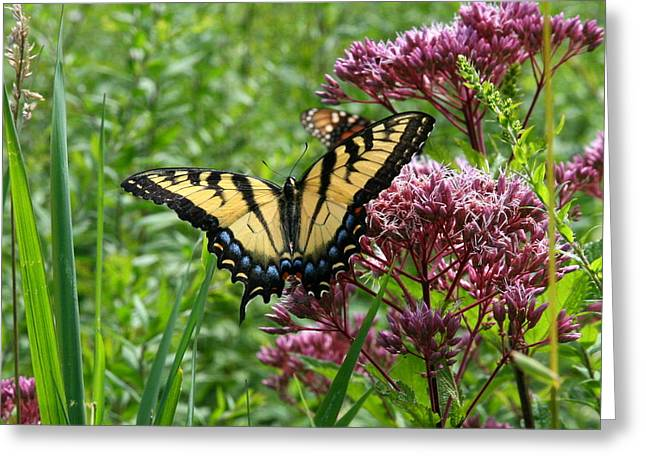 Neal Eslinger Greeting Cards - Eastern Tiger Swallowtail on Joe Pye Weed Greeting Card by Neal  Eslinger